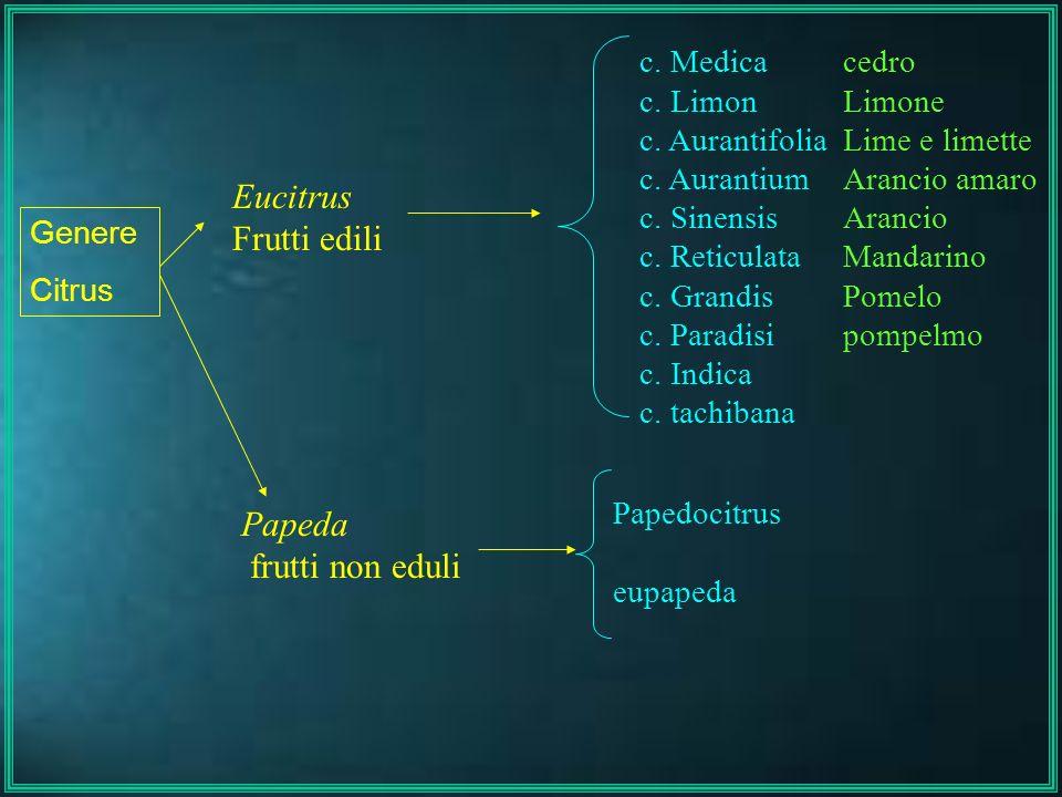 Eucitrus Frutti edili Papeda frutti non eduli Genere Citrus c. Medica c. Limon c. Aurantifolia c. Aurantium c. Sinensis c. Reticulata c. Grandis c. Pa