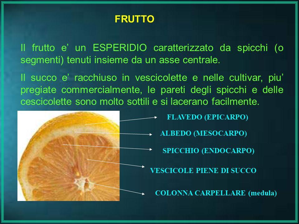 FRUTTO Il frutto e un ESPERIDIO caratterizzato da spicchi (o segmenti) tenuti insieme da un asse centrale. Il succo e racchiuso in vescicolette e nell