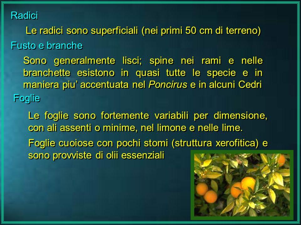 Radici Le radici sono superficiali (nei primi 50 cm di terreno) Fusto e branche Sono generalmente lisci; spine nei rami e nelle branchette esistono in
