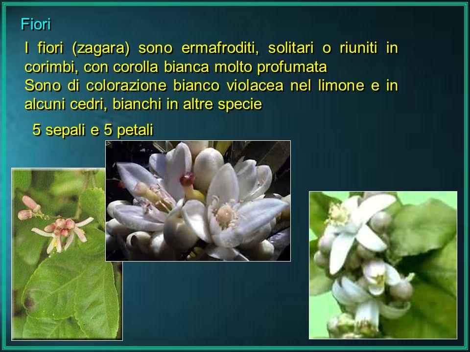 Fiori I fiori (zagara) sono ermafroditi, solitari o riuniti in corimbi, con corolla bianca molto profumata Sono di colorazione bianco violacea nel lim