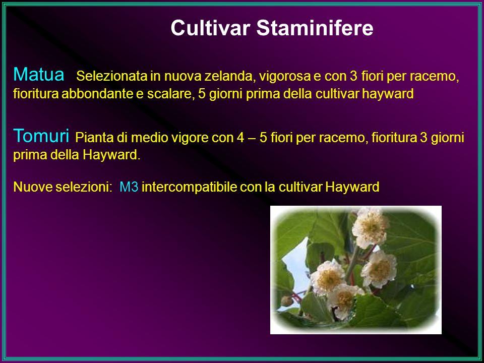 Cultivar Staminifere Matua Selezionata in nuova zelanda, vigorosa e con 3 fiori per racemo, fioritura abbondante e scalare, 5 giorni prima della culti