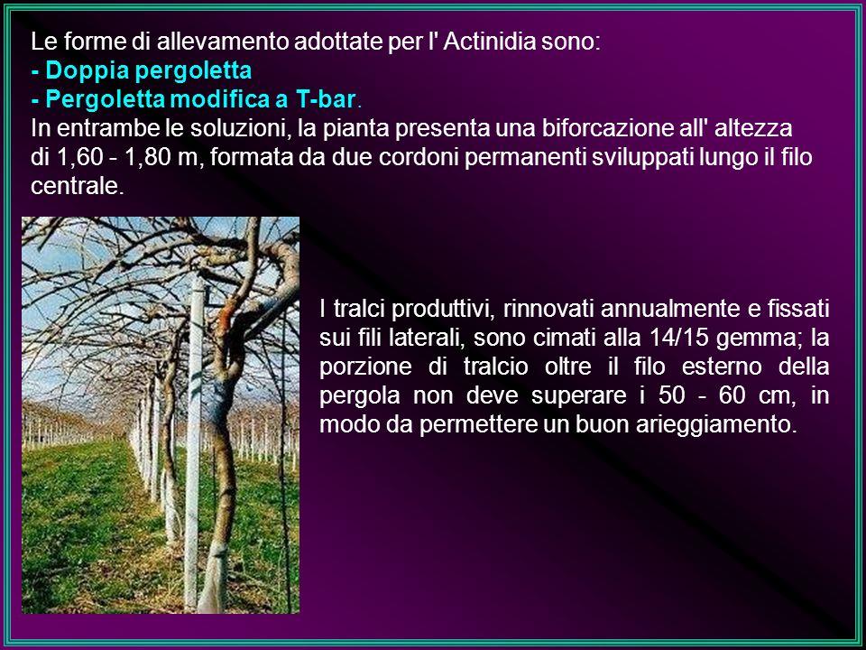 Le forme di allevamento adottate per l' Actinidia sono: - Doppia pergoletta - Pergoletta modifica a T-bar. In entrambe le soluzioni, la pianta present