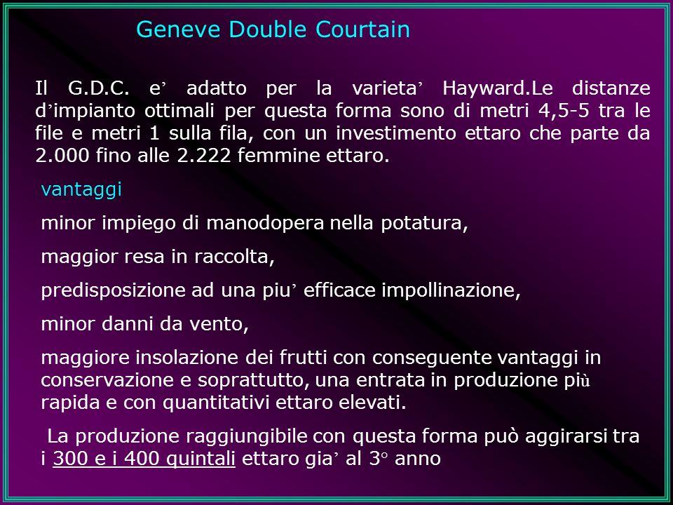 Geneve Double Courtain Il G.D.C. e adatto per la varieta Hayward.Le distanze d impianto ottimali per questa forma sono di metri 4,5-5 tra le file e me