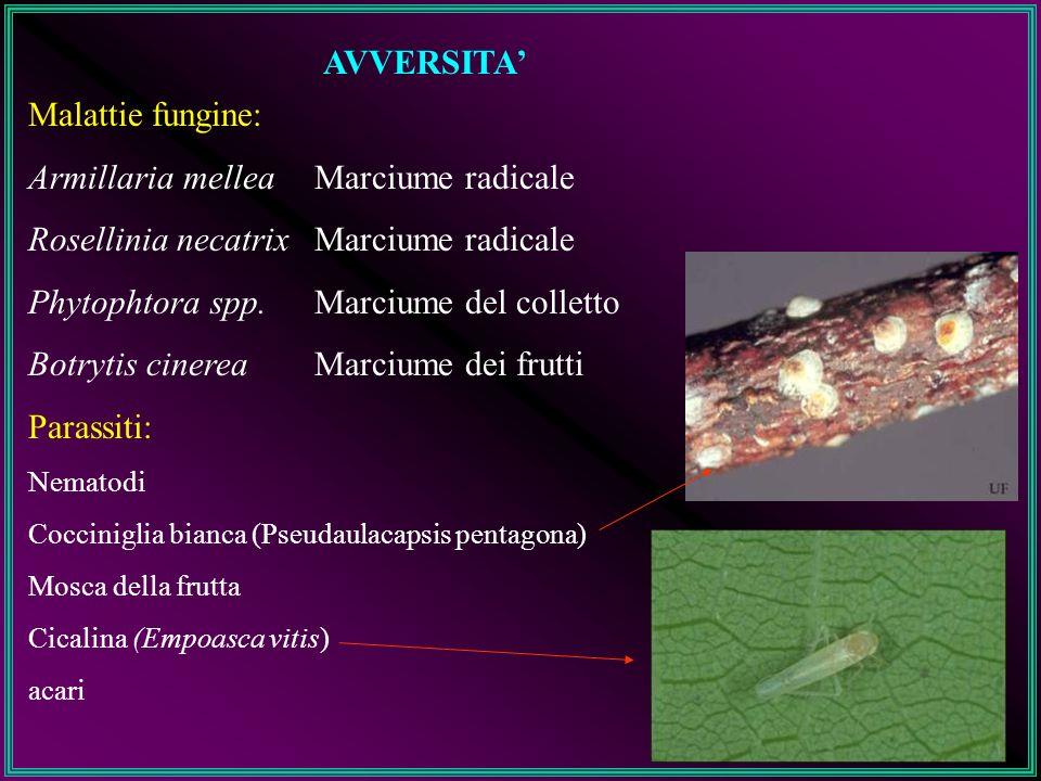 AVVERSITA Malattie fungine: Armillaria mellea Rosellinia necatrix Phytophtora spp. Botrytis cinerea Marciume radicale Marciume del colletto Marciume d