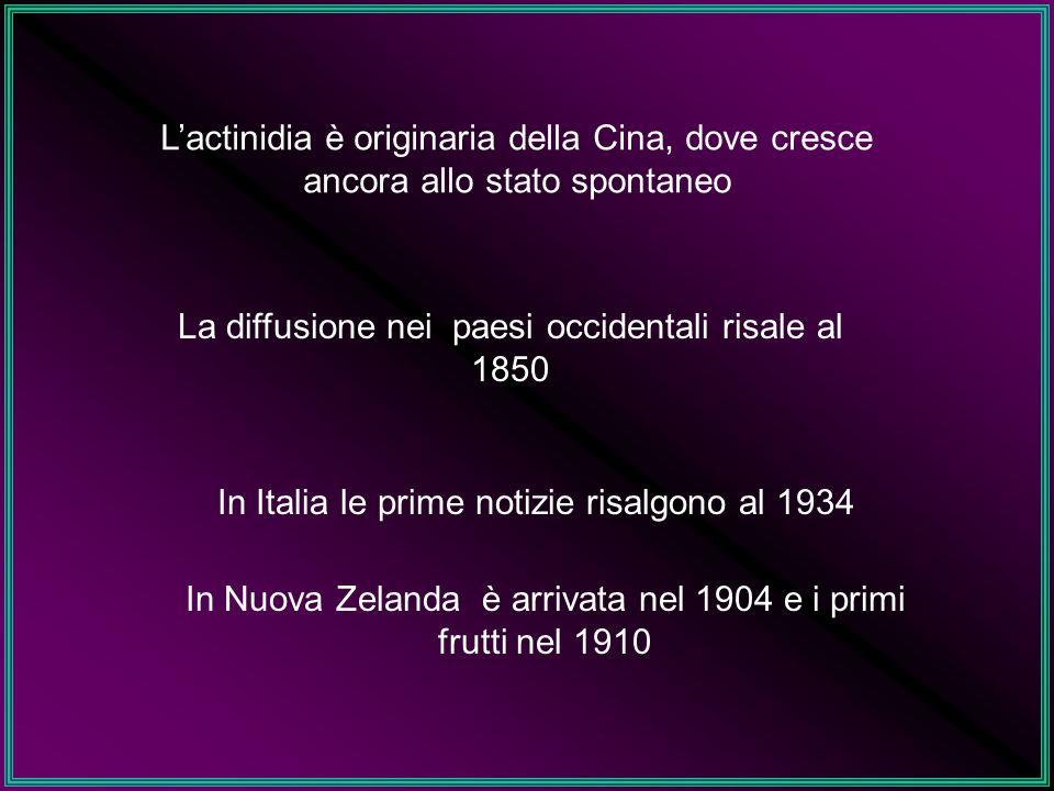 Lactinidia è originaria della Cina, dove cresce ancora allo stato spontaneo La diffusione nei paesi occidentali risale al 1850 In Italia le prime noti