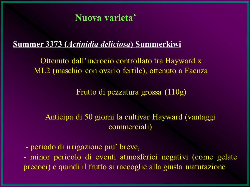 Nuova varieta Summer 3373 (Actinidia deliciosa) Summerkiwi Ottenuto dallincrocio controllato tra Hayward x ML2 (maschio con ovario fertile), ottenuto