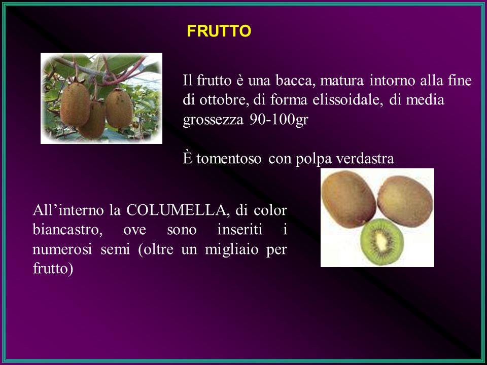 FRUTTO Il frutto è una bacca, matura intorno alla fine di ottobre, di forma elissoidale, di media grossezza 90-100gr È tomentoso con polpa verdastra A