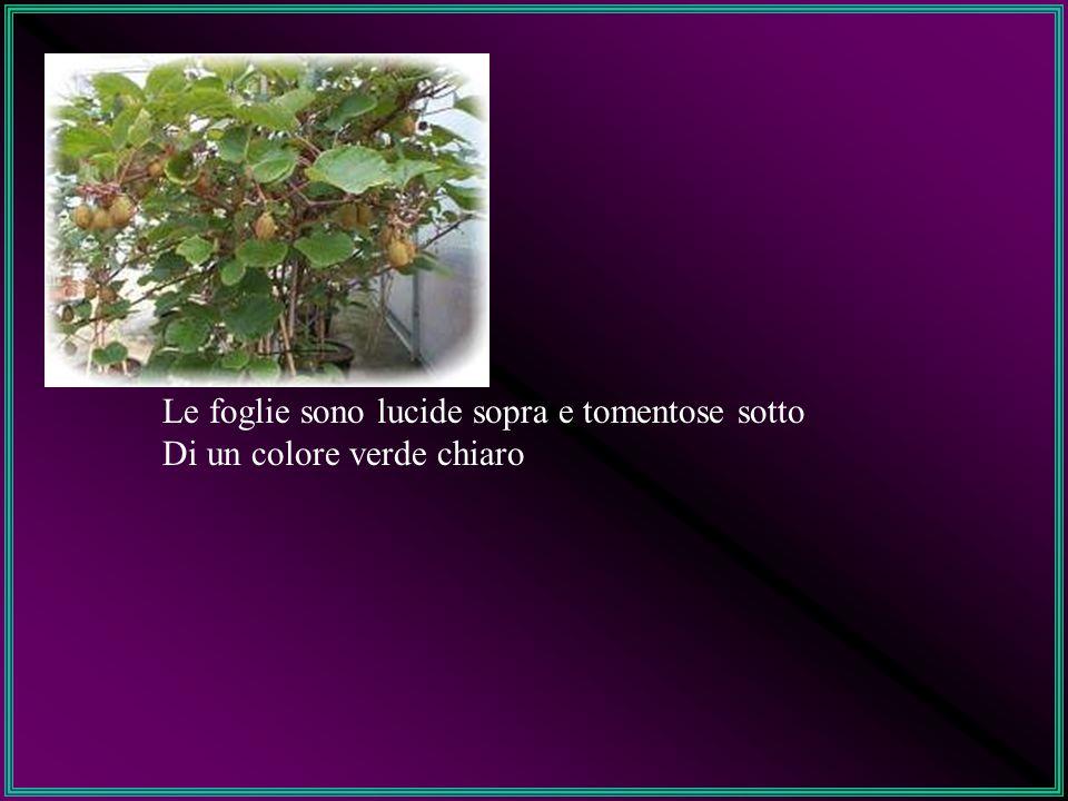 Le forme di allevamento adottate per l Actinidia sono: - Doppia pergoletta - Pergoletta modifica a T-bar.