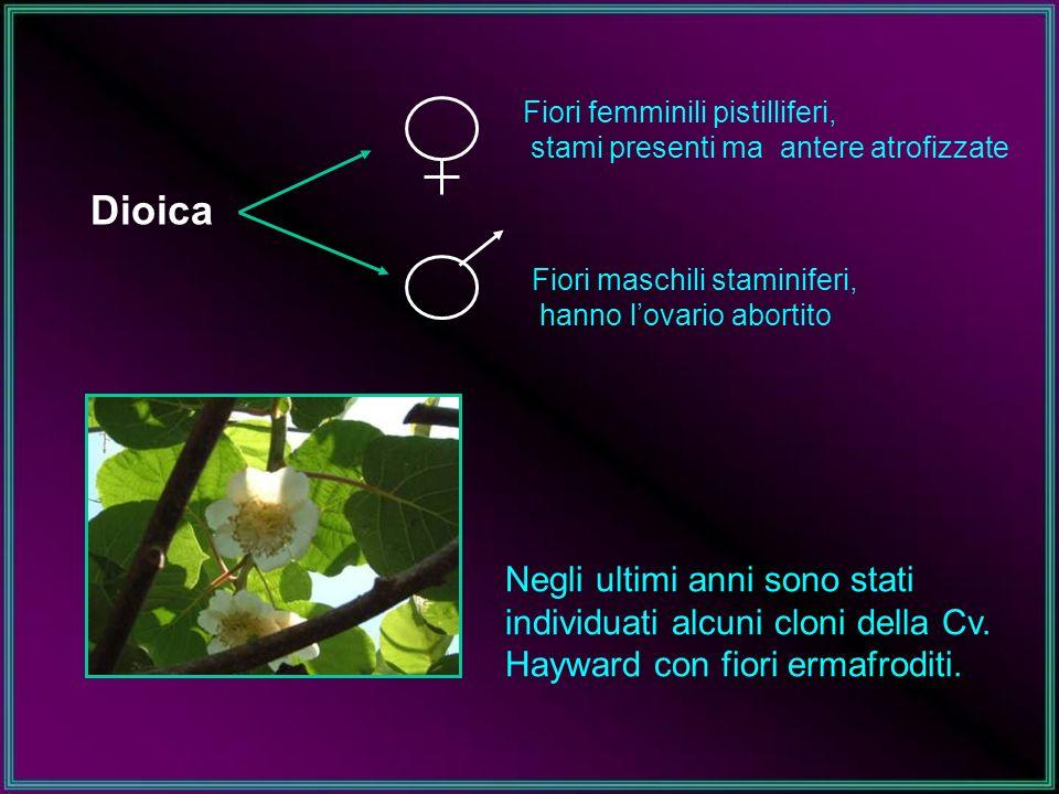 Nuova varieta Hort 16A (Actinidia chinensis) ZespriGold Produce frutti a polpa gialla, piu dolci e meno acidi di Hayward, con un intenso aroma di melone Originaria della NZ (1992), fiorisce prima di Hayward, come pezzatura e uguale