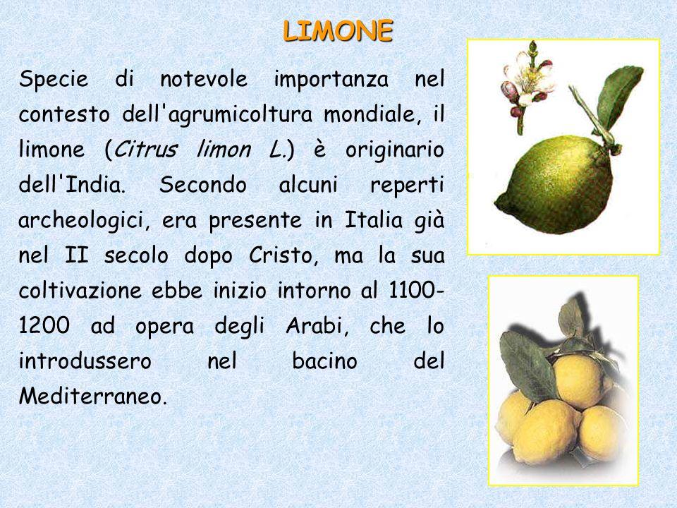 Specie di notevole importanza nel contesto dell'agrumicoltura mondiale, il limone (Citrus limon L.) è originario dell'India. Secondo alcuni reperti ar