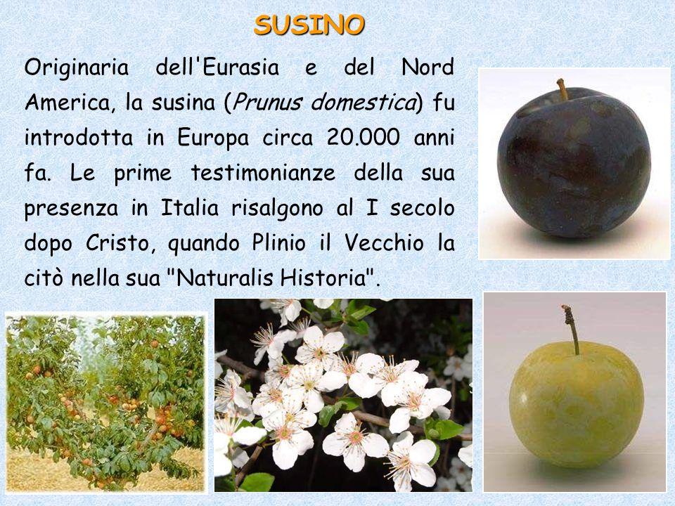 Originaria dell'Eurasia e del Nord America, la susina (Prunus domestica) fu introdotta in Europa circa 20.000 anni fa. Le prime testimonianze della su