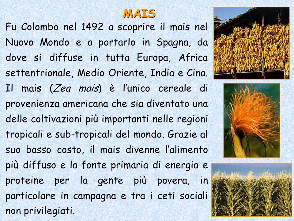 Fu Colombo nel 1492 a scoprire il mais nel Nuovo Mondo e a portarlo in Spagna, da dove si diffuse in tutta Europa, Africa settentrionale, Medio Orient