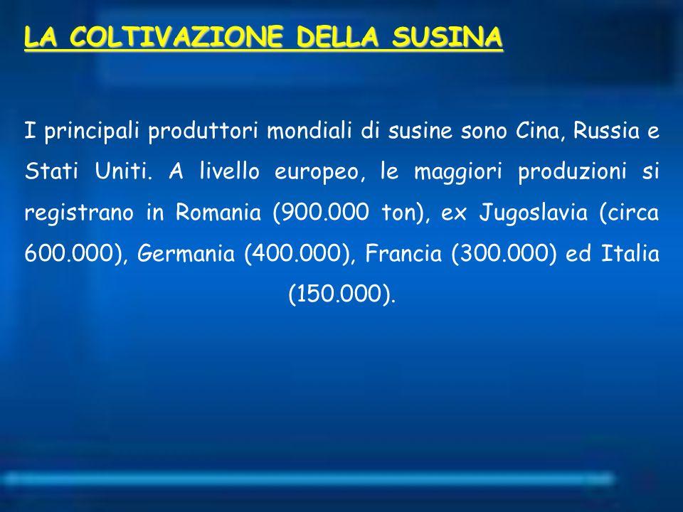 LA COLTIVAZIONE DELLA SUSINA I principali produttori mondiali di susine sono Cina, Russia e Stati Uniti. A livello europeo, le maggiori produzioni si