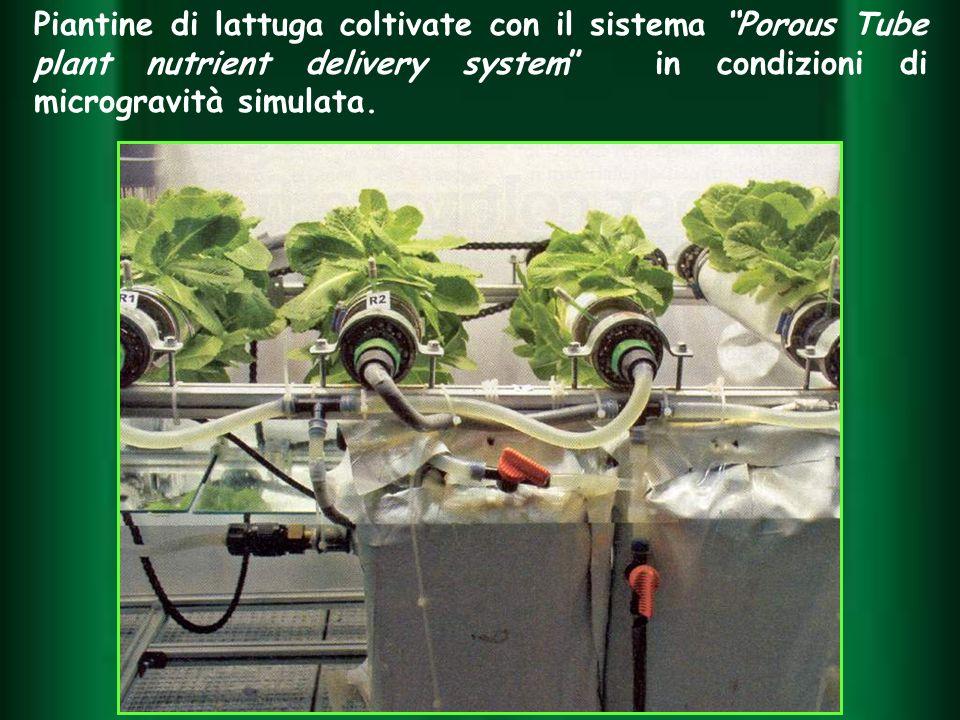 Piantine di lattuga coltivate con il sistema Porous Tube plant nutrient delivery system in condizioni di microgravità simulata.
