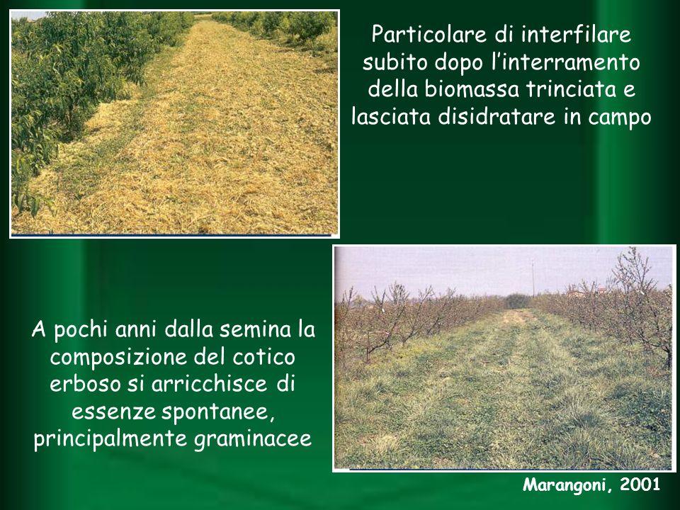 Particolare di interfilare subito dopo linterramento della biomassa trinciata e lasciata disidratare in campo A pochi anni dalla semina la composizion