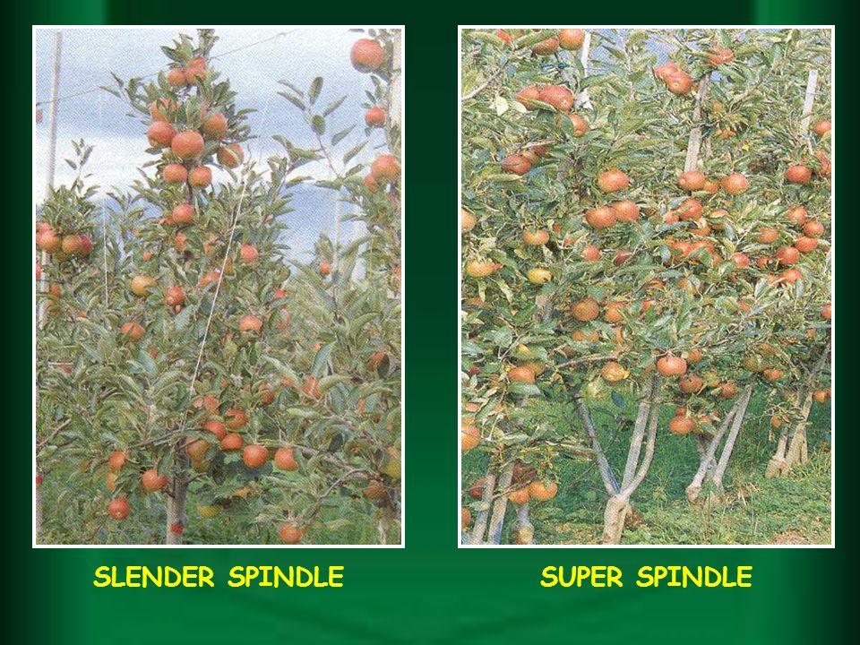 SUPER SPINDLESLENDER SPINDLE