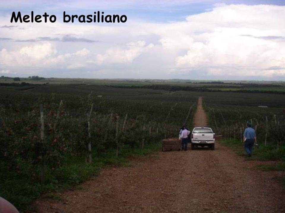 Meleto brasiliano