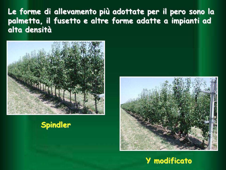 Le forme di allevamento più adottate per il pero sono la palmetta, il fusetto e altre forme adatte a impianti ad alta densità Spindler Y modificato