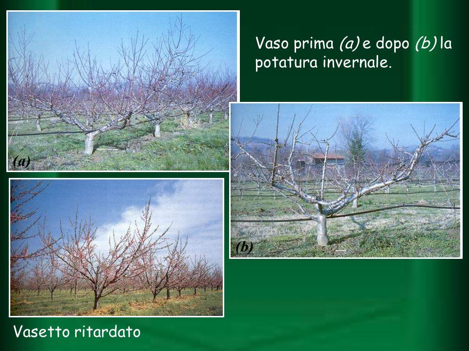 Vaso prima (a) e dopo (b) la potatura invernale. (a) (b) Vasetto ritardato