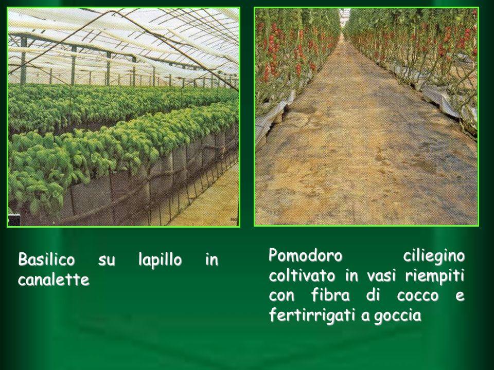 Basilico su lapillo in canalette Pomodoro ciliegino coltivato in vasi riempiti con fibra di cocco e fertirrigati a goccia