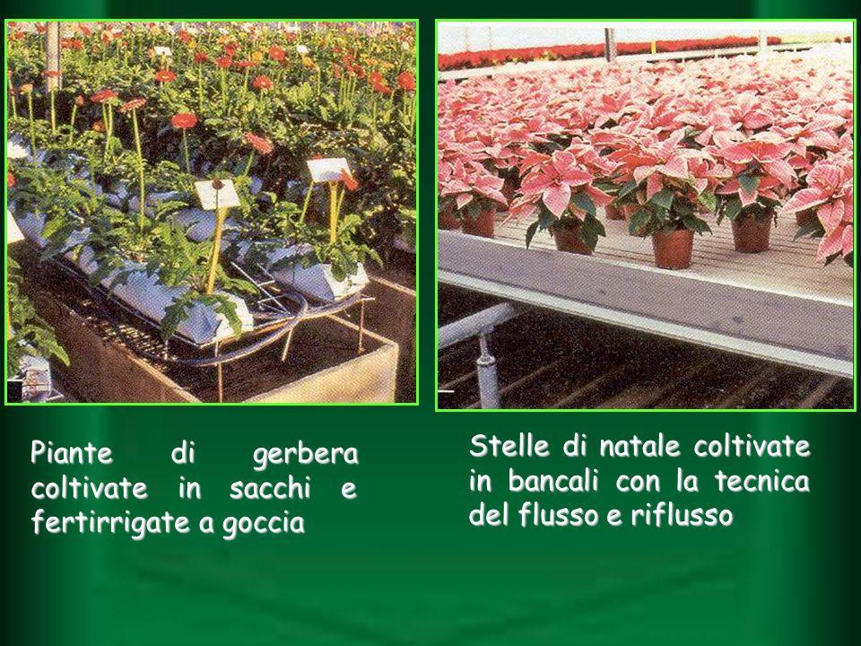 Piante di gerbera coltivate in sacchi e fertirrigate a goccia Stelle di natale coltivate in bancali con la tecnica del flusso e riflusso