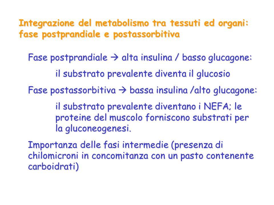 Integrazione del metabolismo tra tessuti ed organi: fase postprandiale e postassorbitiva Fase postprandiale alta insulina / basso glucagone: il substr
