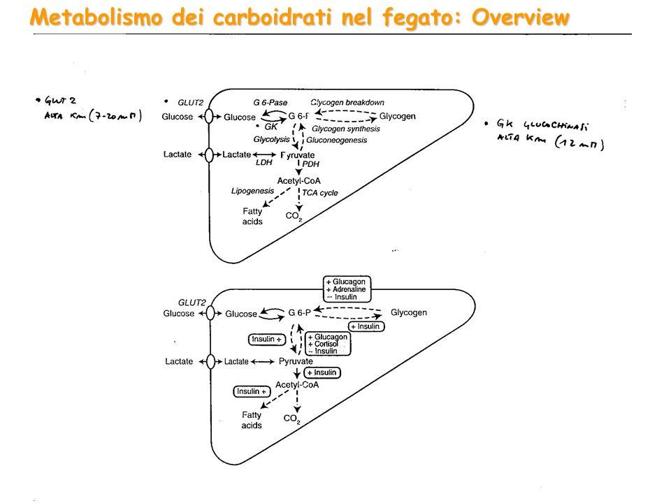 Metabolismo degli aminoacidi nel muscolo:
