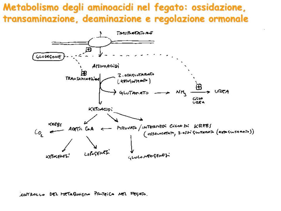 Metabolismo degli aminoacidi nel fegato: ossidazione, transaminazione, deaminazione e regolazione ormonale