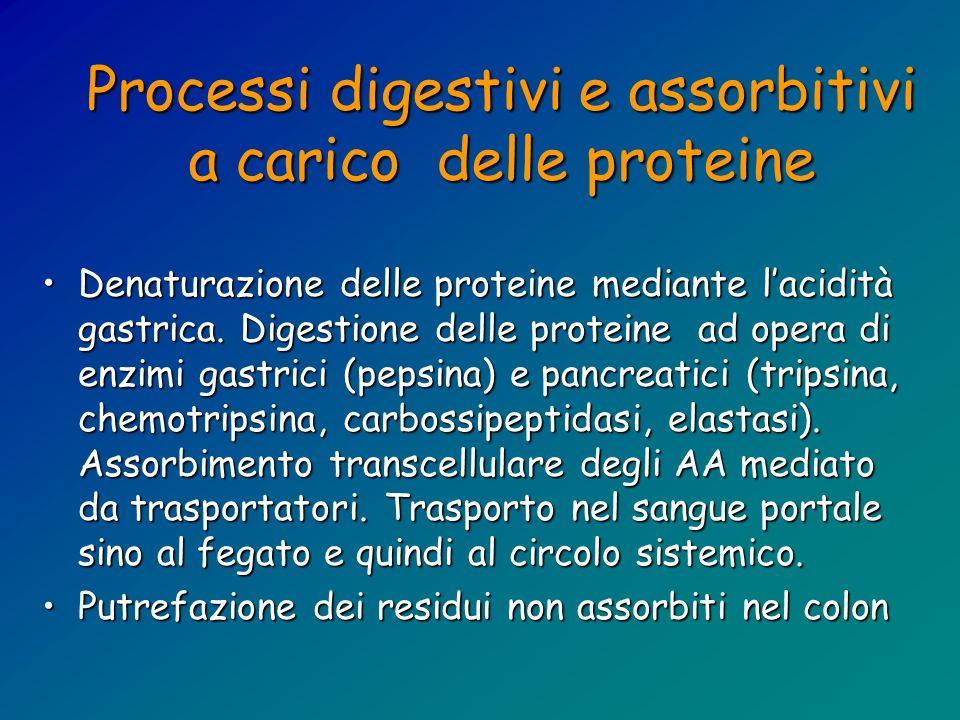 Processi digestivi e assorbitivi a carico delle proteine Denaturazione delle proteine mediante lacidità gastrica. Digestione delle proteine ad opera d