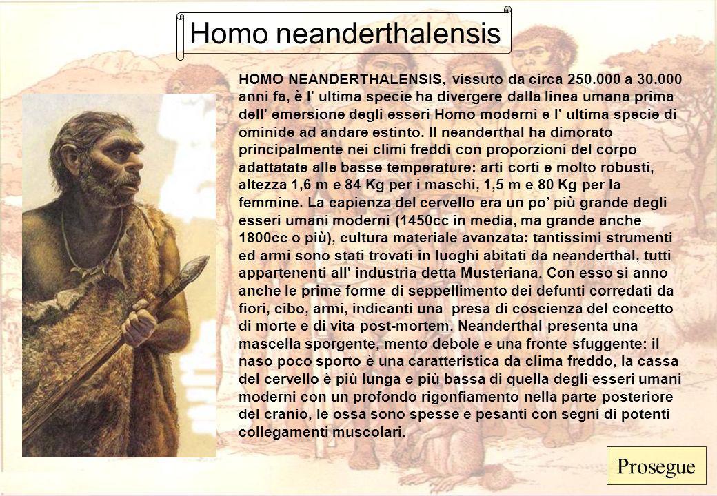 Homo neanderthalensis HOMO NEANDERTHALENSIS, vissuto da circa 250.000 a 30.000 anni fa, è l' ultima specie ha divergere dalla linea umana prima dell'