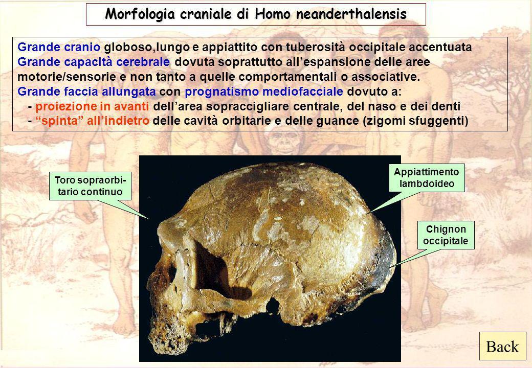 Back Morfologia craniale di Homo neanderthalensis Grande cranio globoso,lungo e appiattito con tuberosità occipitale accentuata Grande capacità cerebr