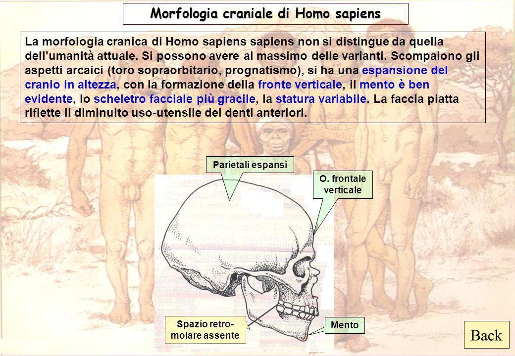 Back Morfologia craniale di Homo sapiens Mento O. frontale verticale Spazio retro- molare assente Parietali espansi La morfologia cranica di Homo sapi