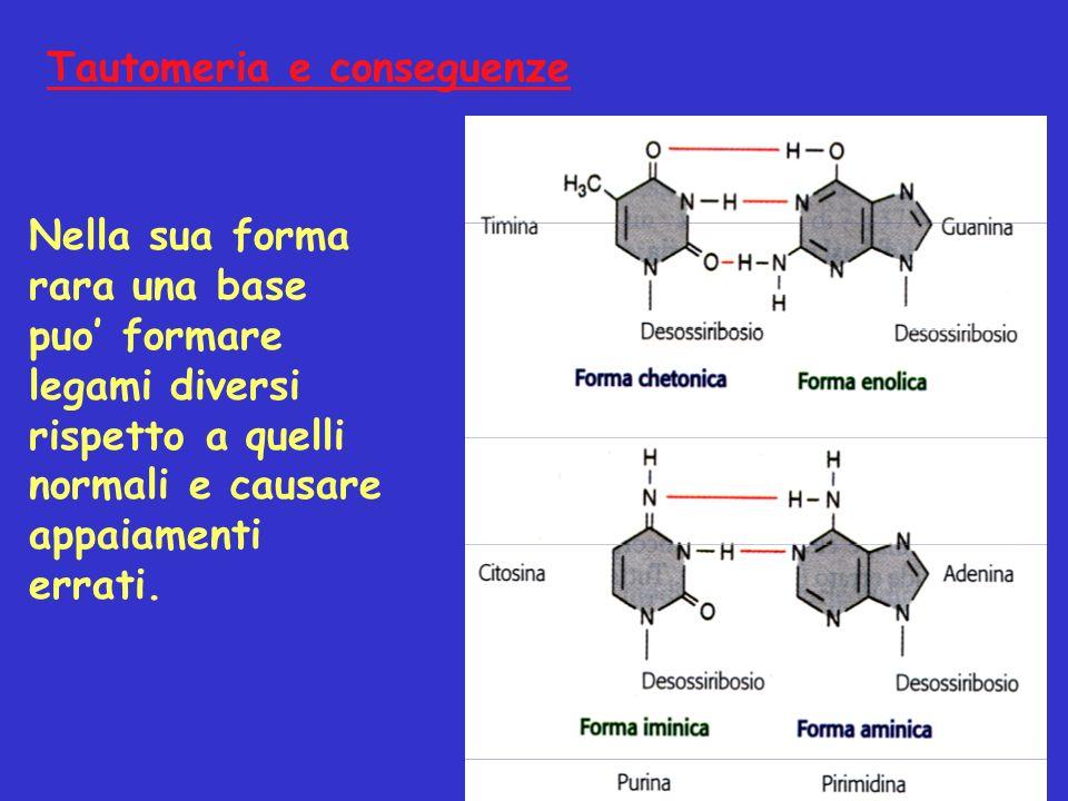 Tautomeria e conseguenze Nella sua forma rara una base puo formare legami diversi rispetto a quelli normali e causare appaiamenti errati.