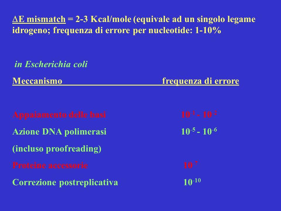 E mismatch = 2-3 Kcal/mole (equivale ad un singolo legame idrogeno; frequenza di errore per nucleotide: 1-10% in Escherichia coli Meccanismo frequenza
