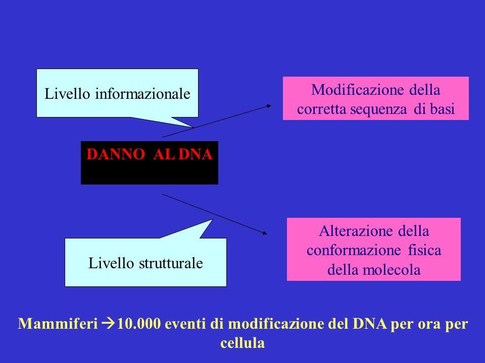 DANNO AL DNA Livello informazionale Livello strutturale Modificazione della corretta sequenza di basi Alterazione della conformazione fisica della molecola Mammiferi 10.000 eventi di modificazione del DNA per ora per cellula