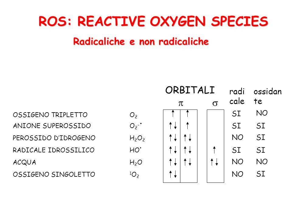 ROS: REACTIVE OXYGEN SPECIES Radicaliche e non radicaliche OSSIGENO TRIPLETTOO 2 ANIONE SUPEROSSIDOO 2 - PEROSSIDO DIDROGENOH 2 O 2 RADICALE IDROSSILICOHO ACQUAH 2 O OSSIGENO SINGOLETTO 1 O 2 ORBITALI radi cale ossidan te SI NO SI NO