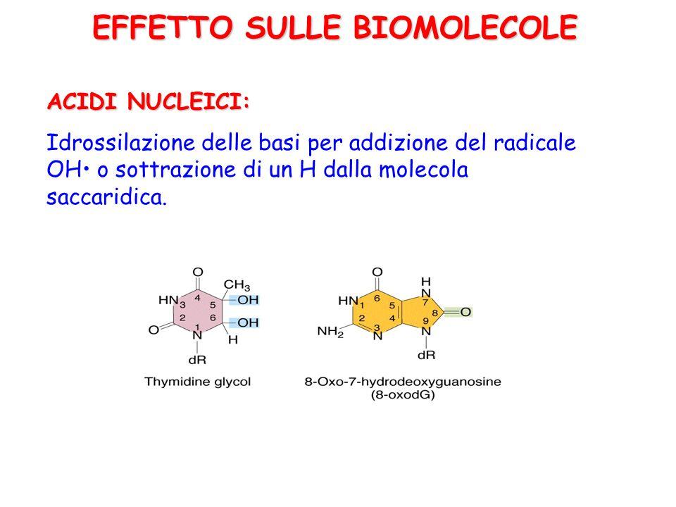 ACIDI NUCLEICI: Idrossilazione delle basi per addizione del radicale OH o sottrazione di un H dalla molecola saccaridica. EFFETTO SULLE BIOMOLECOLE