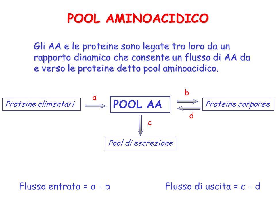 POOL AMINOACIDICO Gli AA e le proteine sono legate tra loro da un rapporto dinamico che consente un flusso di AA da e verso le proteine detto pool ami