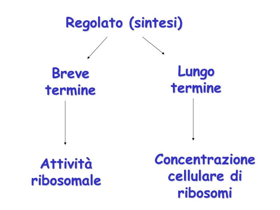 Regolato (sintesi) Breve termine Lungo termine Attività ribosomale Concentrazione cellulare di ribosomi