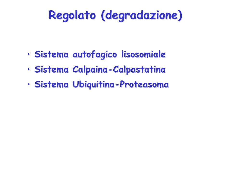 Regolato (degradazione) Sistema autofagico lisosomiale Sistema autofagico lisosomiale Sistema Calpaina-Calpastatina Sistema Calpaina-Calpastatina Sist
