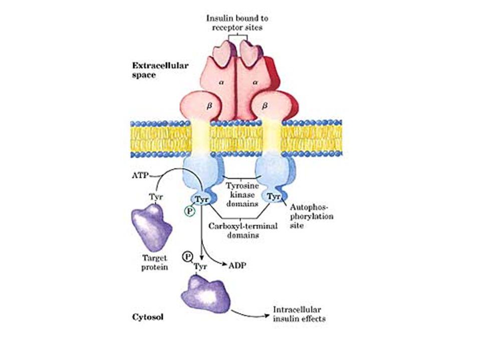 TURNOVER PROTEICO Il POOL AMINOACIDICO è quindi legato al turnover proteico.