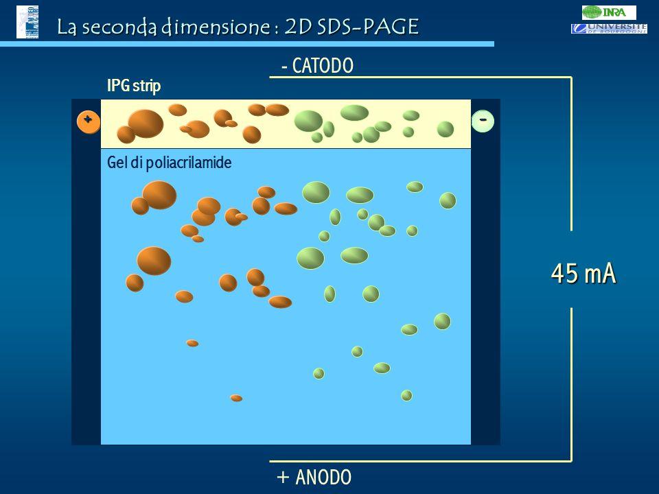 La seconda dimensione : 2D SDS-PAGE - CATODO + ANODO 45 mA - + IPG strip Gel di poliacrilamide