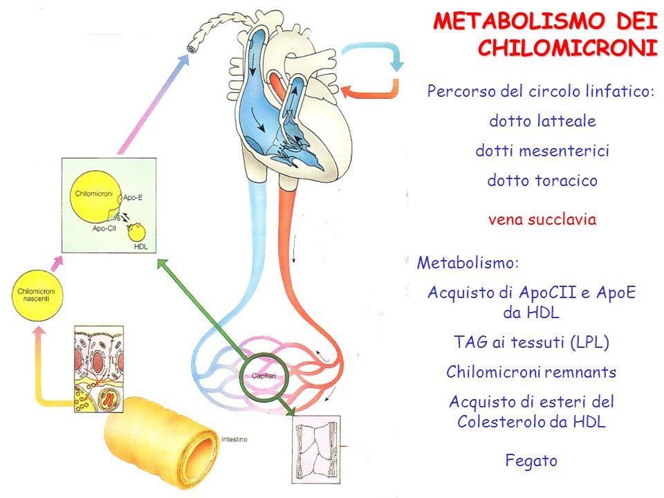 METABOLISMO DEI CHILOMICRONI Percorso del circolo linfatico: dotto latteale dotti mesenterici dotto toracico vena succlavia Metabolismo: Acquisto di A