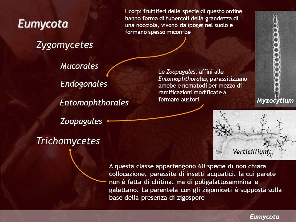Eumycota Eumycota Zygomycetes Mucorales Endogonales Entomophthorales Zoopagales Trichomycetes Le Zoopagales, affini alle Entomophthorales, parassitizz