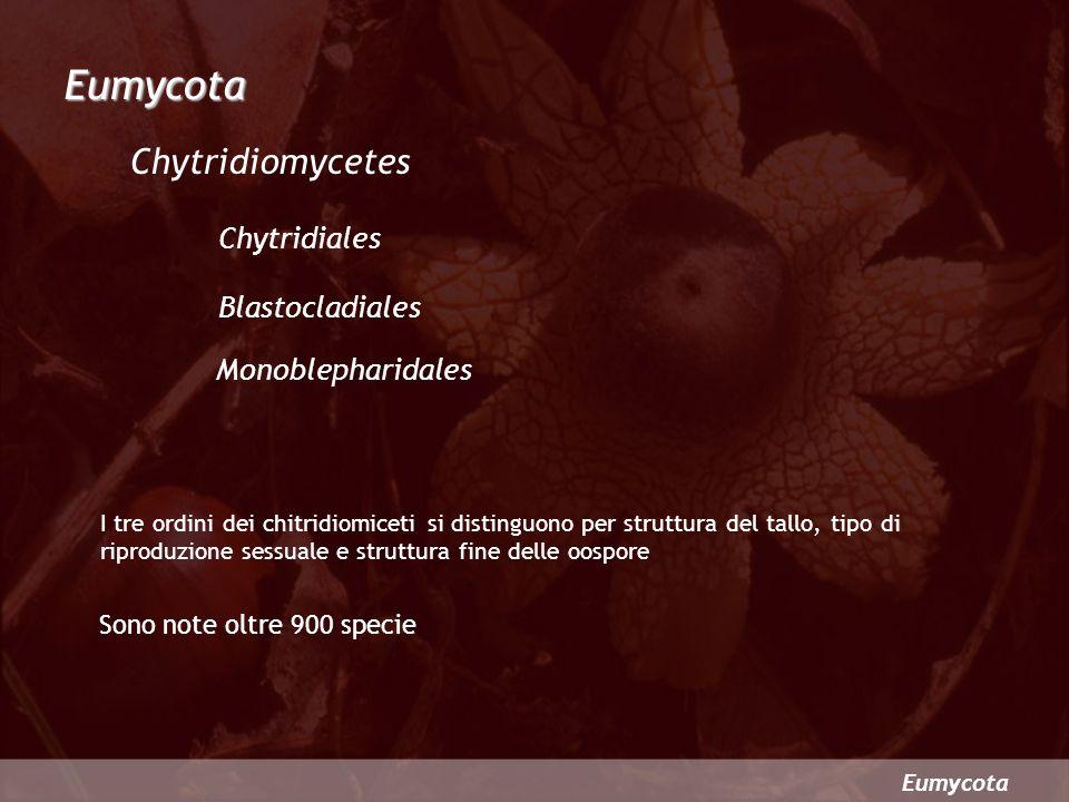 Eumycota I tre ordini dei chitridiomiceti si distinguono per struttura del tallo, tipo di riproduzione sessuale e struttura fine delle oospore Sono no
