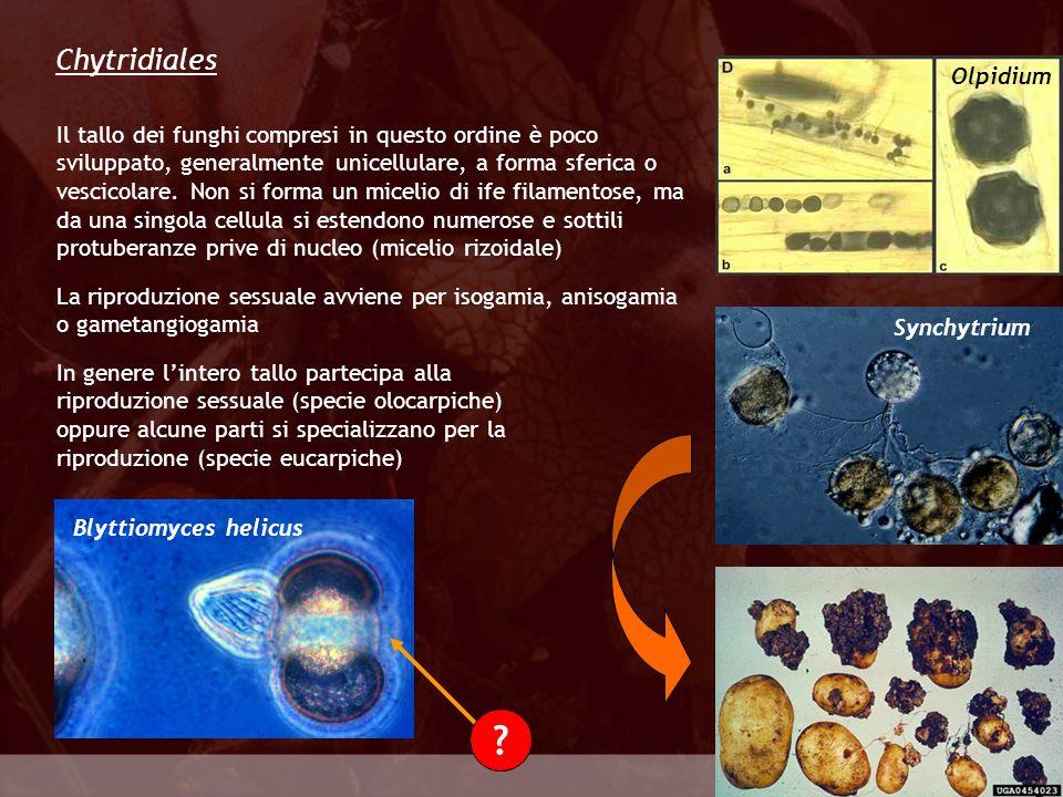 Eumycota Chytridiales Il tallo dei funghi compresi in questo ordine è poco sviluppato, generalmente unicellulare, a forma sferica o vescicolare. Non s