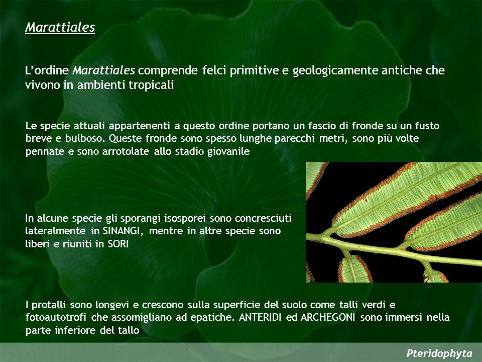 Pteridophyta I protalli sono longevi e crescono sulla superficie del suolo come talli verdi e fotoautotrofi che assomigliano ad epatiche.