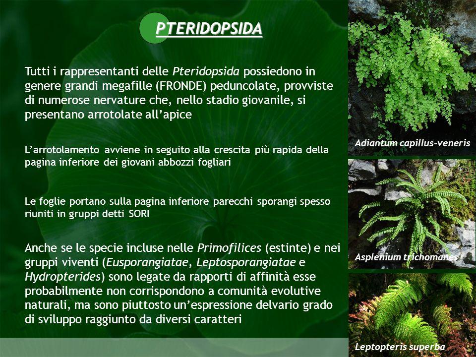 Pteridophyta Gli sporangi sono prodotti in gran numero al margine o per lo più sulla pagina inferiore delle foglie, ma esistono anche specie in cui sono presenti trofofilli e sporofilli identici o con forme differenti Gli sporangi sono raggruppati in SORI spesso protetti da un INDUSIO soro fronda fertile sporangio