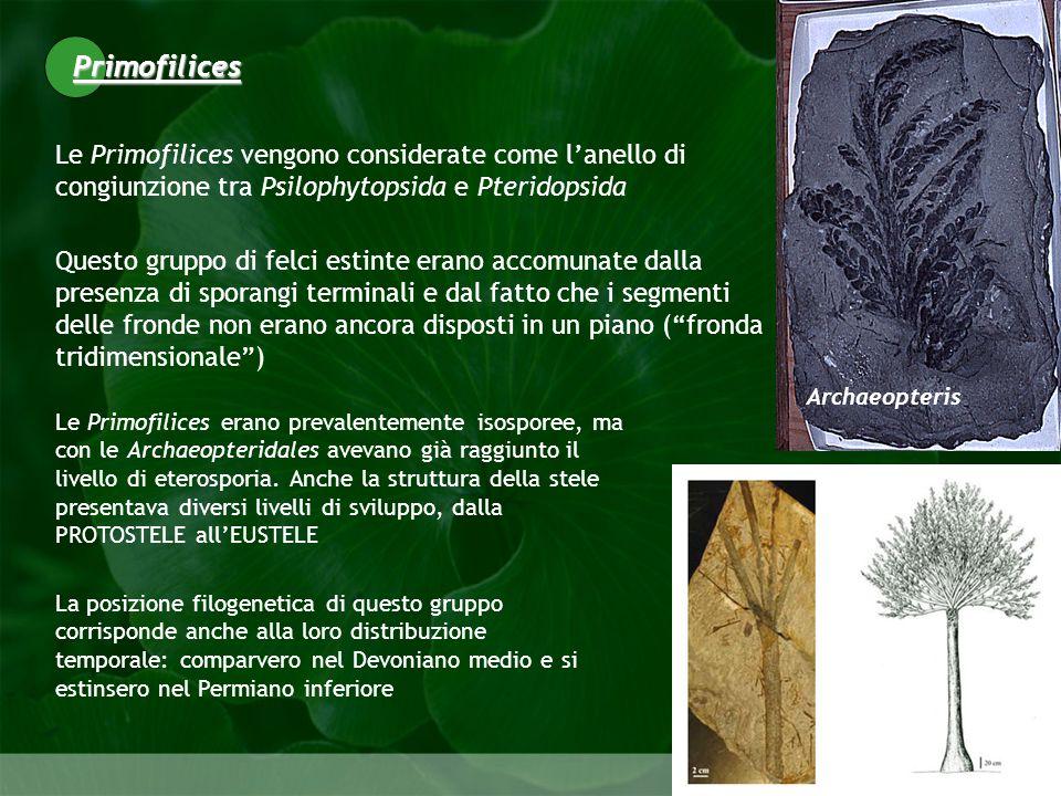 Pteridophyta Le Primofilices vengono considerate come lanello di congiunzione tra Psilophytopsida e Pteridopsida Questo gruppo di felci estinte erano accomunate dalla presenza di sporangi terminali e dal fatto che i segmenti delle fronde non erano ancora disposti in un piano (fronda tridimensionale) La posizione filogenetica di questo gruppo corrisponde anche alla loro distribuzione temporale: comparvero nel Devoniano medio e si estinsero nel Permiano inferiore Primofilices Archaeopteris Le Primofilices erano prevalentemente isosporee, ma con le Archaeopteridales avevano già raggiunto il livello di eterosporia.