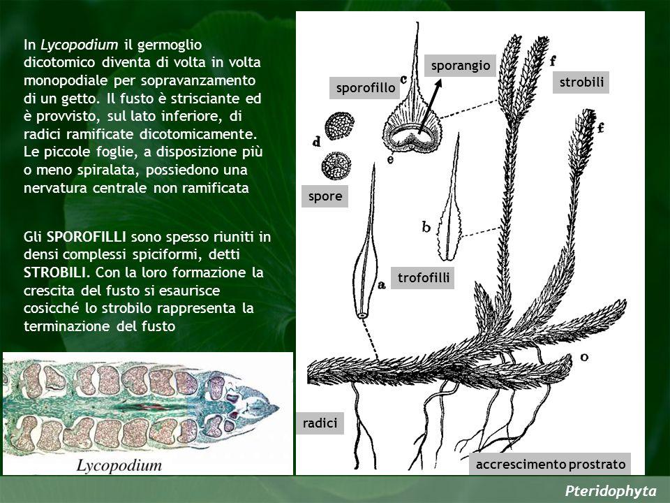 Pteridophyta strobili sporofillo sporangio spore trofofilli radici accrescimento prostrato In Lycopodium il germoglio dicotomico diventa di volta in volta monopodiale per sopravanzamento di un getto.
